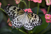 Rice paper Paper or Paper Kite Butterfly on Pink Flowers — Stock Photo