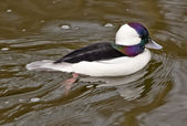 Black White Bufflehead Duck — Stock Photo