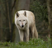 White Wolf Staring At the Crowd — Stock Photo