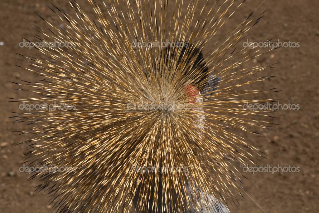 Southern Crowned Crane Close Up Close Up Golden Crown — Stock Photo #6077788