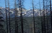 Burned Trees Glacier National Park — Stock Photo