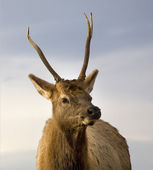 Young Male Elk Close Up National Bison Range Charlo Montana — Stock Photo