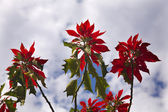 Red Poinsettia Tree Against Blue Sky Morelia Mexico — Stock Photo