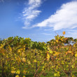 Vineyards Fall Blue Sky NapCalifornia — Stock Photo #6127609