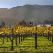 Stock Photo: Fall Wine Vines Yellow Leaves Vineyards Fog Tree NapCalifornia