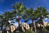 Palm Trees Pampas Grass Daroush Vineyard Napa California — Stock Photo
