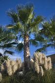 Palm Trees Pampas Grass Daroush Vineyard Napa California — Stock Photo