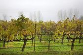 Vineyards Fog Tree Napa California — Stock Photo