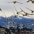 Many Snow Geese Close Up Flying From Mountain — Foto Stock