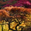 Stock Photo: Japanese Maple Red Leaves Fall Colors VDusen Gardens