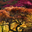 Japanese Maple Red Leaves Fall Colors Van Dusen Gardens - Stock Photo