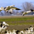 Snow Geese Flying Landing Joining Flock Skagit County Washington - Stock Photo