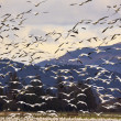 Stock Photo: Thousands of Snow Geese Flying and Taking Off