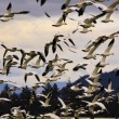 Hundreds of Snow Geese Flying Off — Stock Photo