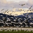 Stock Photo: Thousands of Snow Geese Flying to Clouds