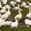 Snow Geese Flock Close Up Skagit County Washington — Стоковая фотография