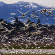 Stock Photo: Thousands of Snow Geese Flying Directly At You