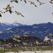Hundreds of Snow Geese Flying Against Mountain — Stock Photo