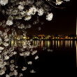 Stock Photo: Washington Monument Cherry Blossoms Night Shot