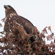 Immature Bald Eagle in Tree Skagit County Washington — Stock Photo