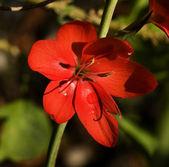 Red Geranium Van Dusen Garden Vancouver — Stock Photo