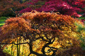 Japanese Maple Red Leaves Fall Colors Van Dusen Gardens — Stock Photo