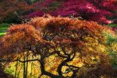 Japanese Maple Red Leaves Fall Colors Van Dusen Gardens — Stock Photo