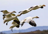 Snow Geese Flying Landing Skagit County Washington — Stock Photo