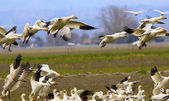 Snow Geese Flying Landing Joining Flock Skagit County Washington — Stock Photo