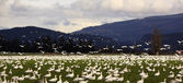 Snow Geese Farmer's Field Flying Away — Stock Photo