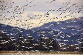 Thousands of Snow Geese Flying and Taking Off — Stock Photo