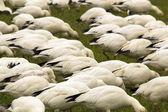 Snow Geese Flock Feeding Close Up Skagit County Washington — Stock Photo