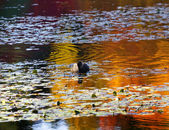 ван дюсена утка ванкувер — Стоковое фото