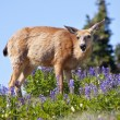 Royalty-Free Stock Photo: White Tail Deer in Purple Lupine Hurricane Ridge Olympic Nation