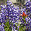 Alipine Red Blue Wildflowers Indian Paintbrush Purple Lupine - Stock Photo