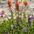 Wildflowers Close Up Red Indian Paint Brush Purple Larkspur Wash — Stock Photo