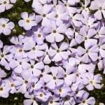 Mount Rainier Sunrise Pink Purple Mountain Phlox Wildflowers — Stock Photo