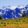 Mount Olympus Snow Mountains Purple Lupine Evergreen Hurricane R - Stock Photo