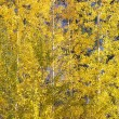 Yellow Gold Quaking Aspen Trees Leaves Close Up Leavenworth Wash — Stock Photo