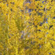 Stock Photo: Yellow Gold Quaking Aspen Trees Leaves Close Up Leavenworth Wash