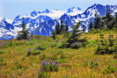 Snow Mountains Purple Lupine Evergreen Hurricane Ridge Olympic — Stock Photo