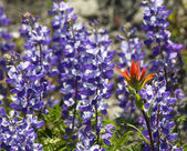 Alipine Red Blue Wildflowers Indian Paintbrush Purple Lupine — Stock Photo
