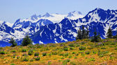 Mount Olympus Snow Mountains Purple Lupine Evergreen Hurricane R — Foto Stock