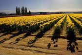 Campos de tulipanes amarillos con sombras — Foto de Stock