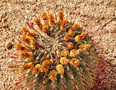 Barrel Cactus Desert Botanical Garden Phoenix Arizona — Stock Photo