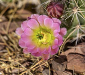 Pink Cactus Flower — Stock Photo