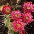 Pink Red Cactus Flowers Sonoran Desert Phoenix Arizona - Stock Photo