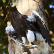 Stellar's Sea Eagle Haliaeetus Pelagicus Spreading Wings — Stock Photo