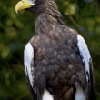 Stellar's Sea Eagle Haliaeetus Pelagicus — Stock Photo