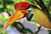 Knobbed Hornbill Sulawesi Wrinkled Hornbill — Stock Photo